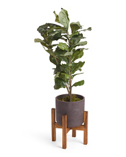 Fiddle Leaf Fig In Cement Pot With Stand