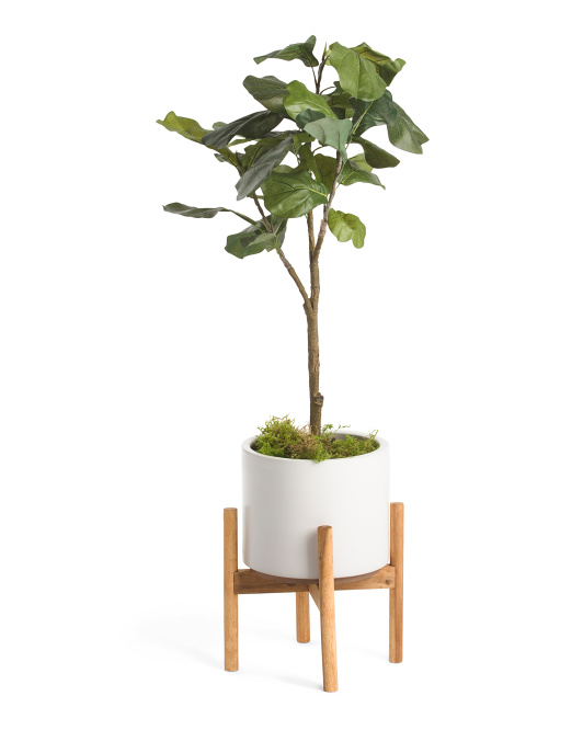 Fiddle Plant In Matte Pot With Stand