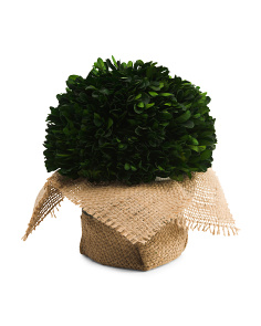 7in Boxwood With Burlap Pot
