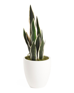 Snake Plant In Tapered Pot