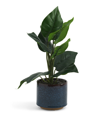 Philodendron In Glazed Pot